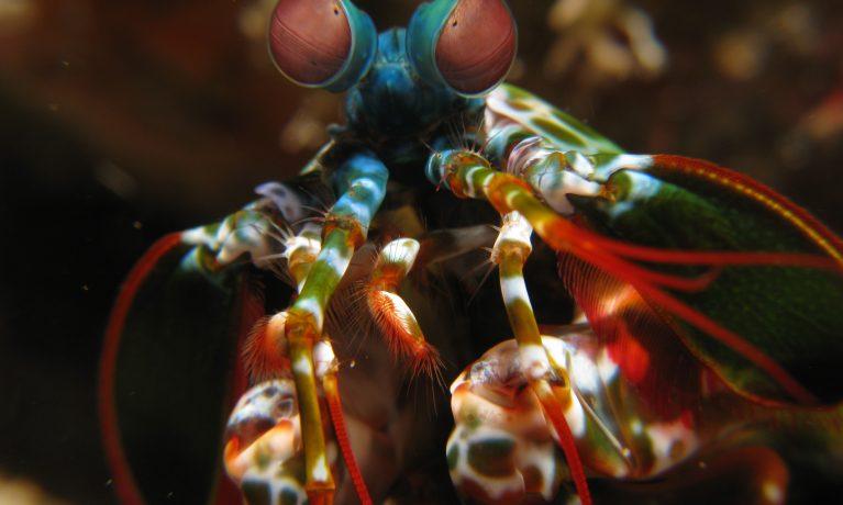 mantis-shrimp_-odontodactylus-scyllarus