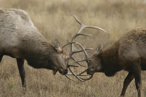 male-wapitis-or-elk-sparring-norbert-rosing